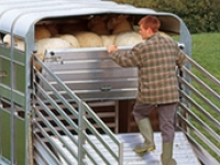 Easy Load Sheep Deck - Westwood Ifor Williams Easy Load Sheep Deck